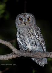 Owl (Sreelesh Sreedhar) Tags: animal aquatic nature bird owl creature tele ngc nikon nikonflickraward nikond800 muscat nikon200500 night outdoor oman wildlife jungle