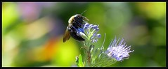 IMG_1840 Bringing in the Sheaves 9-16-16 (arkansas traveler) Tags: bees bichos bugs insects nature naturewatcher bokeh bokehlicious flowers caryopteris zoom telephoto natureartphotography