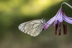 matine... (T.I.T.A.) Tags: mariposa bolboreta blancadelmajuelo aporiacrataegi lirio lilium martagon florsilvestre flor flower macro ocaurel