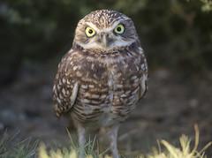 Roadside Owl (Hockey.Lover) Tags: burrowingowl
