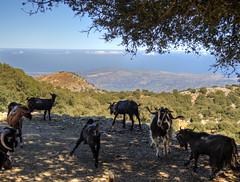 SafariClub Crete and goats (neilalderney123) Tags: 2016neilhoward crete greece goats landscape safariclub olympus omd 4wd