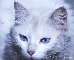The Blue Eyed Cat (© Ahmed rabie) Tags: animal cat photo natural