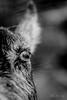 Goat Eye (Jens Lax) Tags: macro öga åsna brusarby