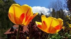 Colourful (Been Around) Tags: green garden austria österreich spring europa europe eu loveit april garten oberösterreich autriche austrian frühling aut oö 2015 upperaustria steyrling bezirkkirchdorf