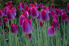 Purple Tape (adrianmojica) Tags: park flowers light usa flower color green nature brooklyn canon fun photography photo spring day purple unitedstates tulips photos bbg brooklynbotanicgarden s90 purpletulip brooklynbotanic bbgardens canonpowershots90 canons90 bbgcalendar2015