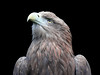Haliaeetus albicilla (JGOM) Tags: netherlands zoo arnhem nederland burgers burgerszoo dierentuin dierenpark burgersdierenpark