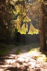 """""""Vorhang auf"""" im Wald (olfriedrich) Tags: licht grn elm sonne wald baum wandern sonnenstrahlen oberpfalz weg pfad nadeln waldau kaimling troglauersee"""