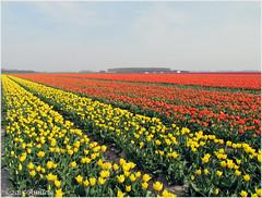 Colorful tulips (♥ Annieta ) Tags: flower color nature fleur canon flora natuur powershot tulip april polder couleur allrightsreserved tulpen bloem zuidholland 2015 tulpenveld annieta dirksland ultimateshot sx30is usingthisimagewithoutmypermissionisillegal