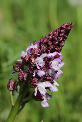 Lady Orchid - Orchis purpurea