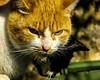 Mean-eyed cat (Hugo Cesar Gusmao) Tags: wild cats animal animals cat sony gatos gato mean animais selvagem salvaje meaneyedcat miradasalvaje sonydsch2 dsch2 savagelook miradaanimal olharselvagem