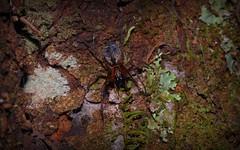 night hunter (dustaway) Tags: family nature night australia bark queensland tamborinemountain arachnida genus sequeensland araneomorphae australianspiders crowsash flindersiaaustralis