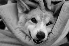 Smile (moaan) Tags: dog smile smiling japan walking corgi dof bokeh wheelchair jp utata welshcorgi kota hyogo nishinomiya 2015 ef50mmf14usm thelittledoglaughed canoneos7dmarkii littledoglaughedstories