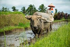Farmer (jeyoh) Tags: bali indonesia bullock ox farmer ricefield ricefields