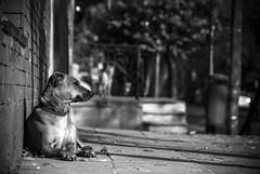 Cachorros (guspaulino1) Tags: street blancoynegro argentina calle buenosaires ciudad cachorro perros laboca mascotas