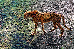 """""""Stalking"""" - Singapore Zoo (TravelsWithDan) Tags: nature animal canon zoo fromabove stalking signapore chetah"""