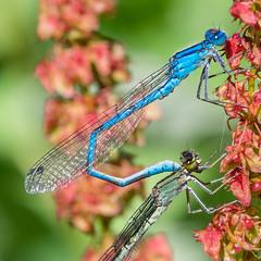 Demoiselle bleue Explore 07.14.16 (amateur72) Tags: macro fujifilm parc libellule fleursetplantes caniel xt1 xf60mmmacro