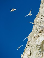 2016-07-16_07-29-16 (halland71) Tags: blue sky seagulls france birds fly air group gang free cliffs naturereserve serenity niceview