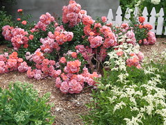 ** Trio fleuri ** (Impatience_1 (Peu...ou moins prsente)) Tags: rosier rosebush rose rosepolyantha polyantharose fleur flower astilbe sedum plante plant clture fence m impatience wonderfulworldofflowers saveearth supershot coth coth5