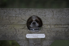 Riley in the Stocks (Jeffrey Watson) Tags: shihtzu stocks