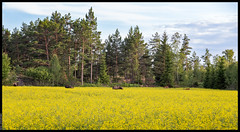 Supper Time (Mika Latokartano) Tags: canola rapeseedfield rapeseed yellow moose elk deer pinetrees finland farmland agriculture
