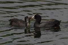 IMGP3808 Coots, Rye Meads, July 2016 (bobchappell55) Tags: naturereserve wildlife rspb wild nature bird ryemeads coot