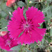 Dianthus sp. (south of Sioux City, Iowa, USA) 3