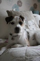 Dave (made by maxine) Tags: dog parsonrussellterrier cute terrier jackrussell dave