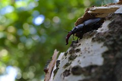 DSCF9808 (faki_) Tags: fuji fujifilm xe1 fujinonxf35mmf14r 35 14 rovar insect bogr beetle