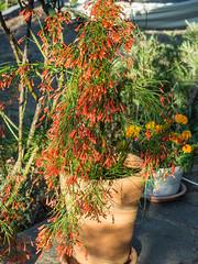 _7122610 Russelia equisetiformis.pg (JorunT) Tags: 2016 russeliaequisetiformis hellas sommer