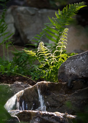 Ferns, Lit Up by a Rising Sun (David Warlick) Tags: hdr nikon photomatixpro photoshop fern morning sunglare telephoto