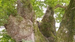 2016-08-02 13.22.56 (Lins Art) Tags: tree scotland balmaha lochlomond