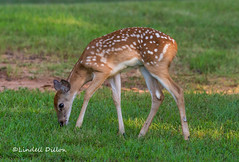 Whitetail fawn (Lindell Dillon) Tags: deer whitetail wildlife nature oklahoma lindelldillon