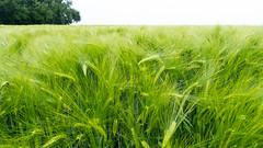 Bl de juillet (geofana) Tags: leica summer belgium wheat july fields dlux5
