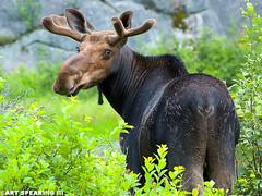 Algonquin Provincial Park Bull Moose (freshairphoto) Tags: algonquin provincial park ontario canada bullmoose mammal animal antler artspearing nikon d70 300mm telephoto tripod