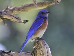 Western Bluebird (Doug Greenberg) Tags: bluebird westernbluebird