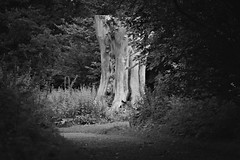 On the way to Pan (kimblomqvist) Tags: bnw blackandwhtie nature natura negroyblanco noiretblanc woods wood tree trees path forest leaves leaf light naturallight grass mysterious mystic dark canon canonphotography canon60d 100mm