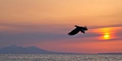Japan. (richard.mcmanus.) Tags: dawn rausu mcmanus hokkaido birdofprey bird raptor japan