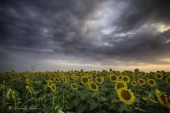 Sunflower (balboni.antonella) Tags: sunflower girasoli campo girasole fiori estate photographu foto paesaggio natura petali campagna estivo cielo tramonto nuvole colori naturale bellezza