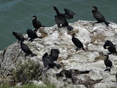 Cormorants on the Great Orme (Foramgirl) Tags: coast birds greatorme cormorants bbcwalesnature