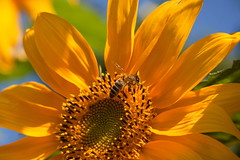 Sunflower and Bee 2016 (wilco79) Tags: canon ef50mmf18ii eos500d bokeh macro light nature animal flower outdoor dof depthoffield pov pointofview bee sunflower