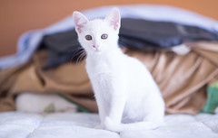 Mis ojos favoritos (Comunicador Audiovisual - Chile) Tags: cat gato miau blanca white gatita memorias nostalgia