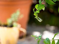 Minty Bloom (wickenden) Tags: pots mint green
