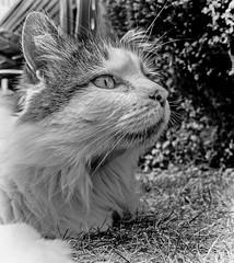 A Close Up (Tilly the 3-legged Our isitor) Panasonic Lumix LX100 Compact (BW) (markdbaynham) Tags: cat feline tilly 3legged pet cute animal panny panasonic lumix lumixer lx lx100 2575mm f1728 zoom ft fourthird dmc dmclx100 dc variosummilux