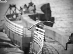Solicitando permiso para aterrizar (danielfi) Tags: cudillero cuideiru puerto asturias asturies bn bw mar sea costa coast gaviota seagull ngc