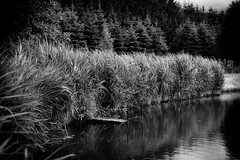 *** (pszcz9) Tags: polska poland przyroda nature staw pond drzewo tree trzcina reed woda water pejza landscape beautifulearth sony a77 bw blackandwhite monochrome