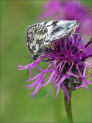 Pair of Marbled White Butterflies (robin denton) Tags: butterfly butterflies naturereserve nature yorkshirewildlifetrust brockadale insect