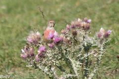 Tourmalet-2016-07-24-Kneu-3565 (Bartele) Tags: cardueliscannabina commonlinnet fringillids kneu linottemlodieuse passriformes tourmalet bird oiseau