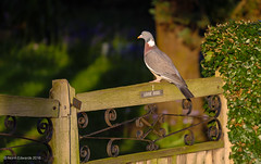 Watch out pigeon! (norm.edwards) Tags: pigeon spring thrapston green nature gate bird dog danger taken whilst walk between denford beautiful evening