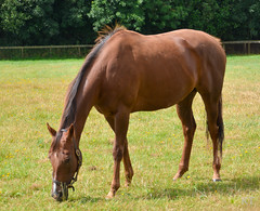 Ribbons (in foal to Frankel) (Carine06) Tags: green horse racehorse mare broodmare thoroughbred kirtlingtonstud oxfordshire ribbons frankel foal ktt2956