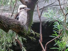 Kookaburra - Sydney Day 4 - Toronga Zoo (gttexas) Tags: 2009 australia cruise kookaburra starprincess sydney tarongazoo